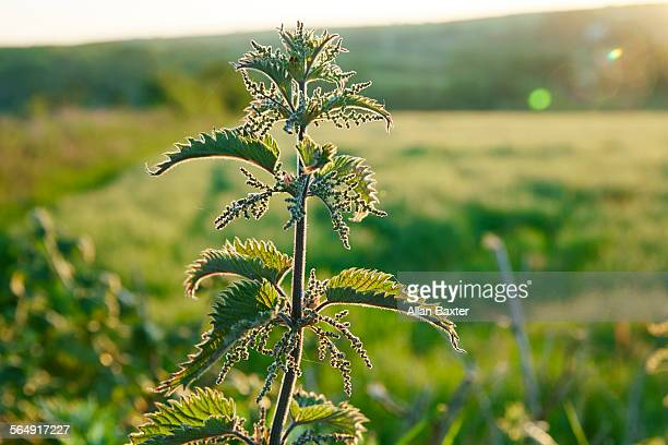 View of common nettle at sunset