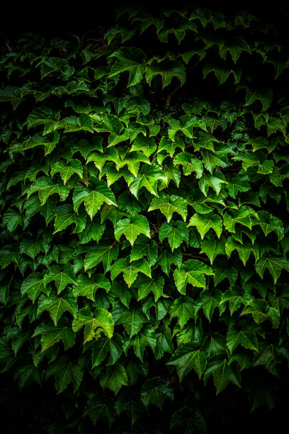 View of concord ivy, South Saint Paul, Minnesota, USA