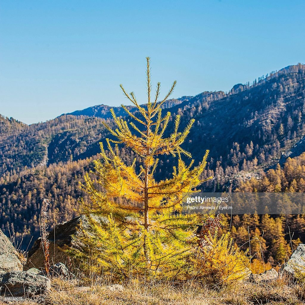 View Of Coniferous Tree In Autumn : Foto stock