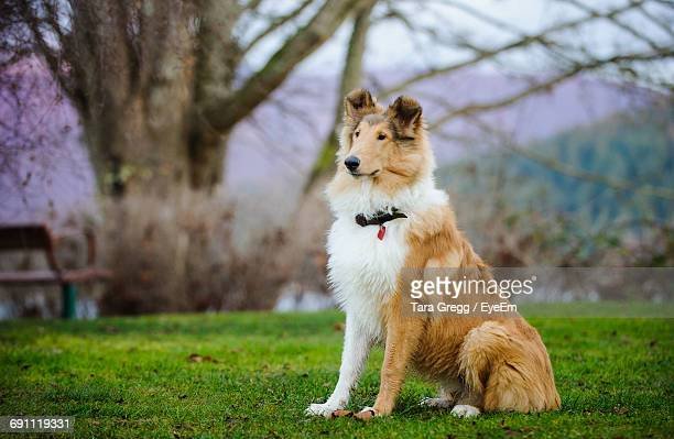view of contemplative collie dog sitting on grass on lawn - collie stock photos and pictures