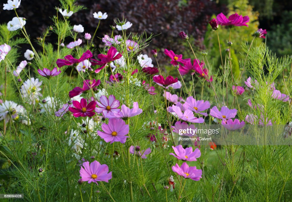 view of cosmos flowers in english garden in late summer ストック