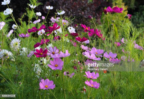 view of cosmos flowers in english garden in late summer. - cosmos flower stock pictures, royalty-free photos & images