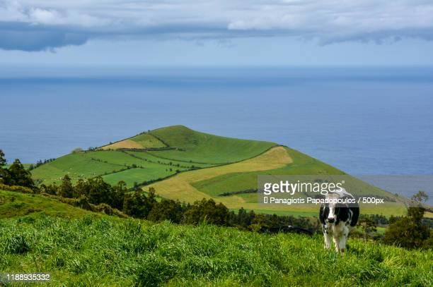 view of cow on hill near sea, azores - azores fotografías e imágenes de stock