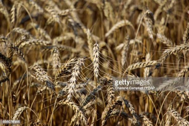 View of crackling wheat