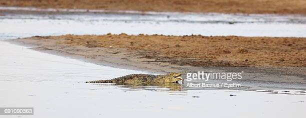 View Of Crocodile Eating Fish In South Luangwa River, Zambia, Africa