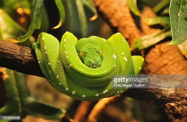 View Of Curled Up Green Tree Python