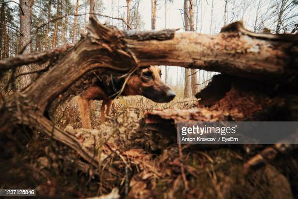 view of dead tree in forest - dead plant stock pictures, royalty-free photos & images