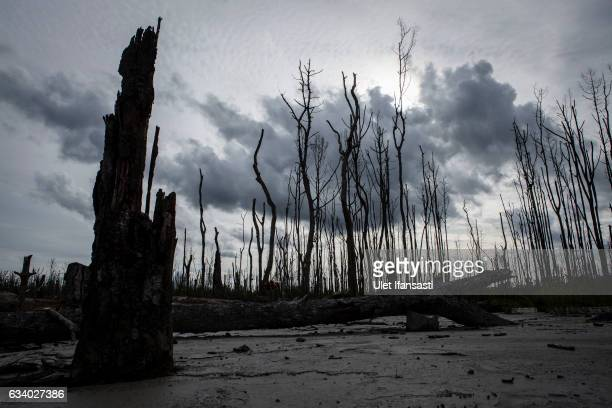 A view of dead trees affected by gold mine waste known as tailings on February 2 2017 in Timika Papua Province Indonesia Indonesia produces over 70...