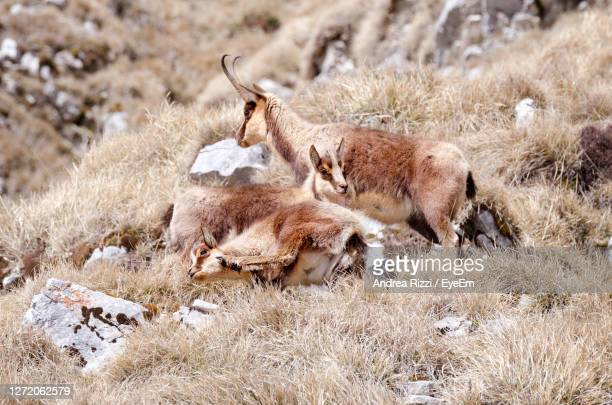 view of deer relaxing on field - andrea rizzi stockfoto's en -beelden