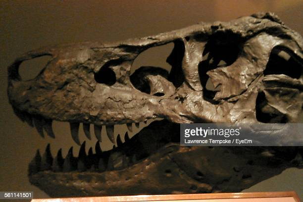 view of dinosaur skull - fossil stock photos and pictures