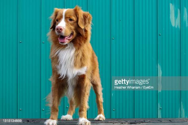 view of dog looking away - nova scotia duck tolling retriever stock pictures, royalty-free photos & images