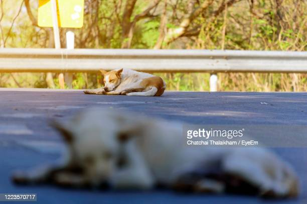 view of dogs sleep on street - chatchai thalaikham stock pictures, royalty-free photos & images