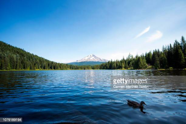 view of duck and at trillium lake trillium lake, oregon. - portland oregon stock pictures, royalty-free photos & images
