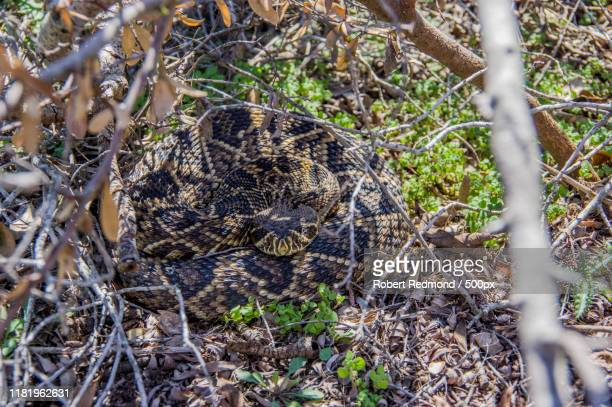 view of eastern diamondback rattlesnake (crotalus adamanteus) - eastern diamondback rattlesnake stock pictures, royalty-free photos & images
