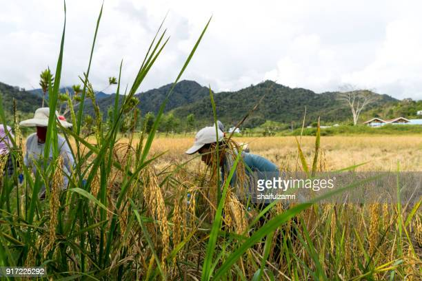 View of farmers at paddy field during harvest season in Bario, Sarawak - a well known place as one of the major organic rice supplier in Malaysia.