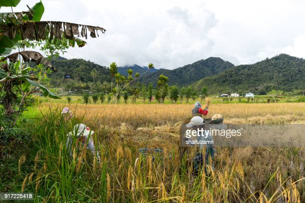 view of farmers at paddy field during harvest season in bario, sarawak - a well known place as one of the major organic rice supplier in malaysia. - shaifulzamri stock pictures, royalty-free photos & images