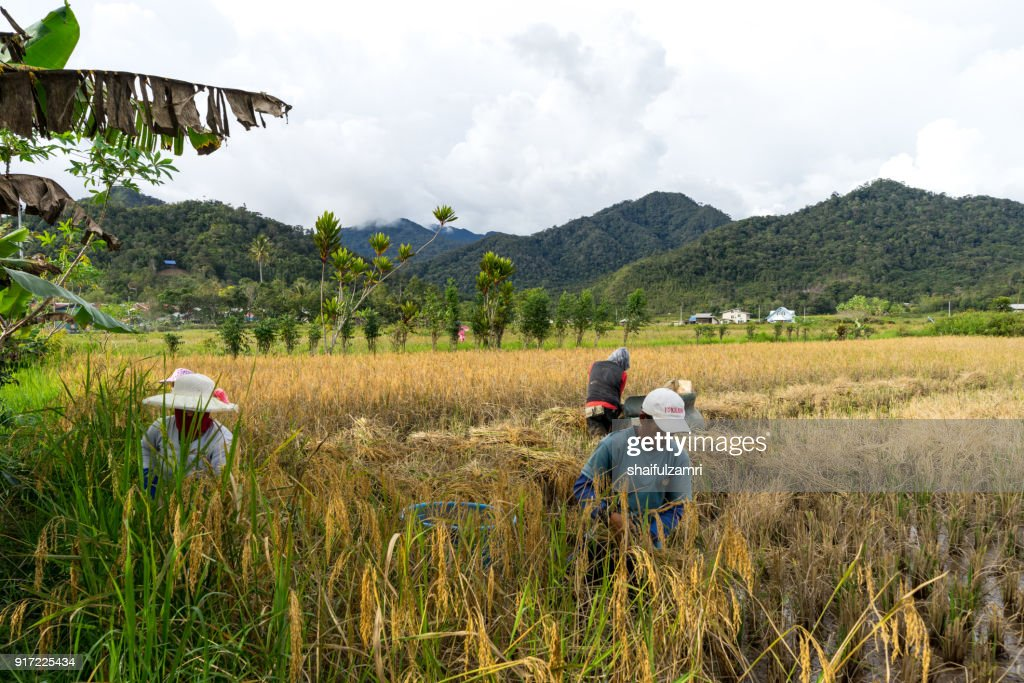 View of farmers at paddy field during harvest season in Bario, Sarawak - a well known place as one of the major organic rice supplier in Malaysia. : Stock Photo