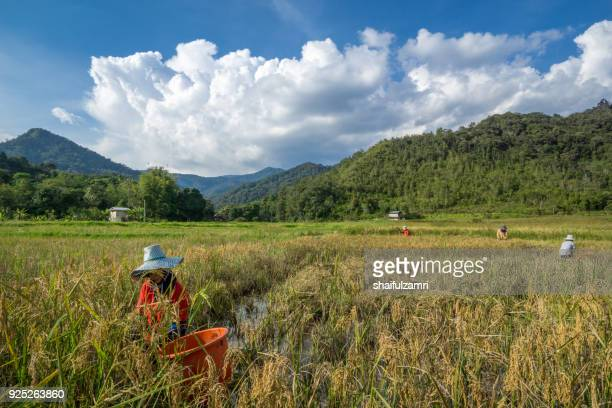 view of farmers at paddy field during harvest season in bario, sarawak - a well known place as one of the major organic rice supplier in malaysia. - shaifulzamri 個照片及圖片檔