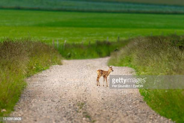 view of fawn on country dirt road - per grunditz stock pictures, royalty-free photos & images