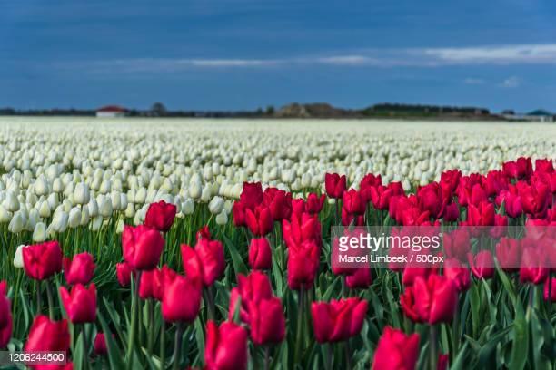 view of field of red and white tulips , biddinghuizen, netherlands - biddingshuizen stockfoto's en -beelden