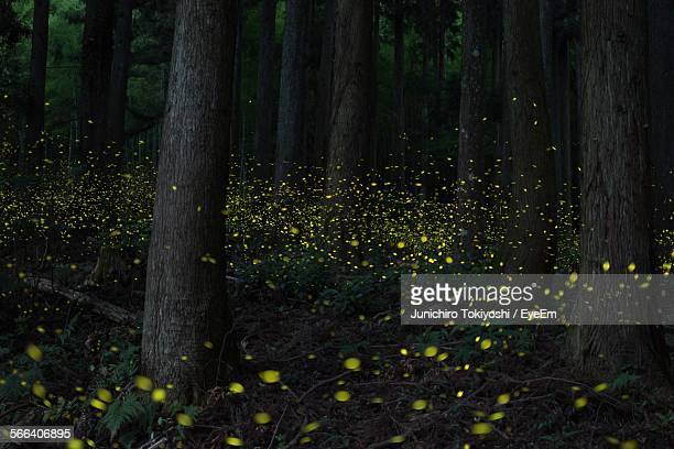 view of fireflies glowing amidst trees in forest - firefly stock pictures, royalty-free photos & images