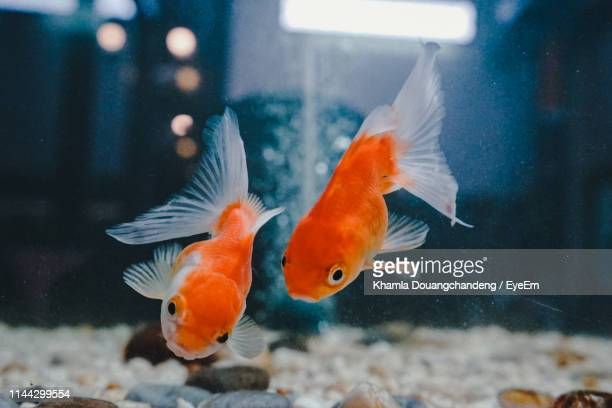 view of fish swimming in water - goldfish stock pictures, royalty-free photos & images