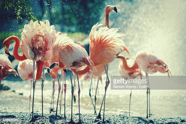 View Of Flamingos Near Fountain