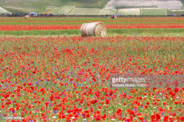 view of flowering plants growing on field - castelluccio stock pictures, royalty-free photos & images