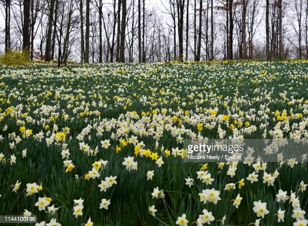 view of flowering plants in field - field of daffodils stock pictures, royalty-free photos & images