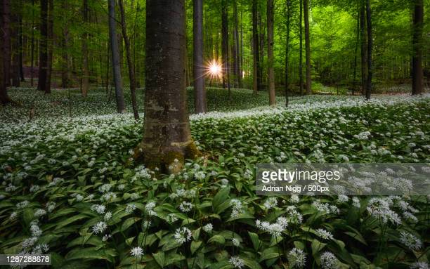 view of flowering plants in forest,schweiz,switzerland - baum stock pictures, royalty-free photos & images