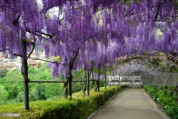 Wisteria Tunnel Stock Pictures Royalty Free Photos Images