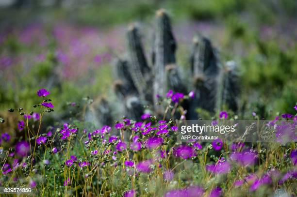 View of flowers in bloom on the Atacama desert at the Huasco region some 600 km north of Santiago on August 26 2017 In years of very heavy seasonal...