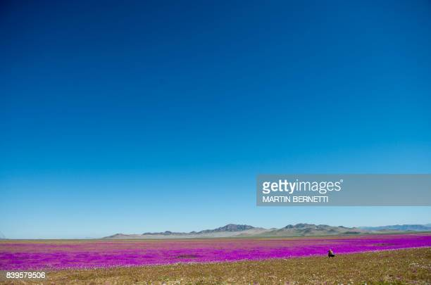 TOPSHOT View of flowers in bloom on the Atacama desert at the Huasco region some 600 km north of Santiago on August 26 2017 In years of very heavy...