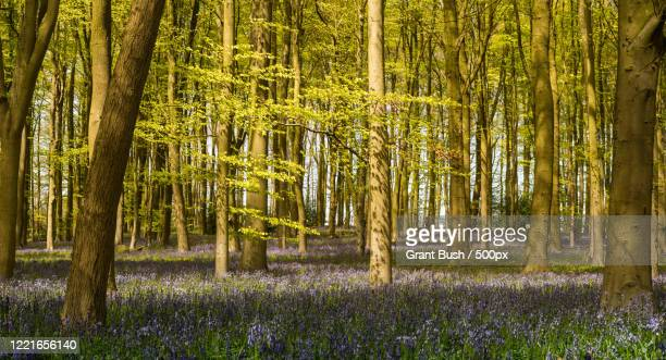 view of forest and wildflowers on springtime, long buckby, northamptonshire, uk - northamptonshire - fotografias e filmes do acervo
