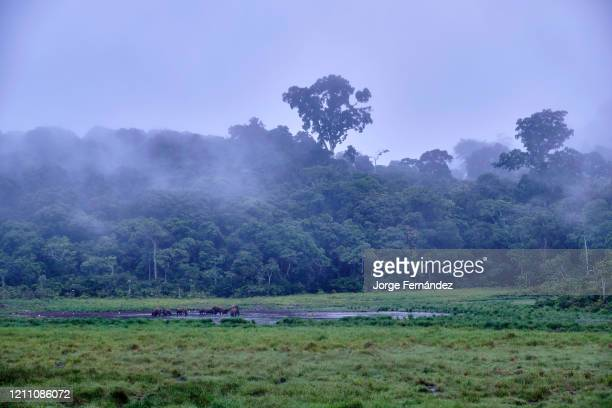 View of forest elephants mud bathing and salt licking at Langoue Bais from a platform made for observation purposes. A bais is an natural forest...