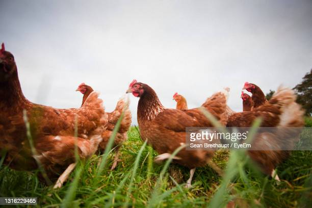 view of free range chickens on field against sky - medium group of animals stock pictures, royalty-free photos & images