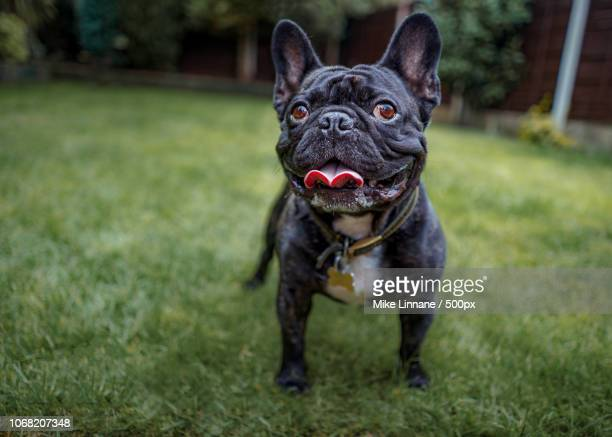 view of french bulldog standing on grass - french bulldog stock pictures, royalty-free photos & images