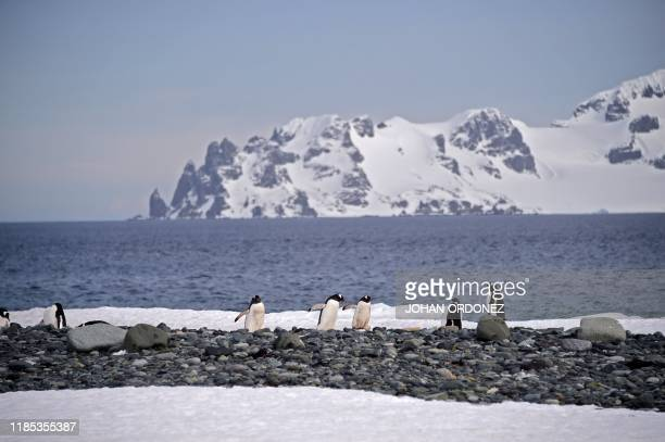 View of Gentoo penguins at the Yankee Harbour in the South Shetland Islands Antarctica on November 06 2019