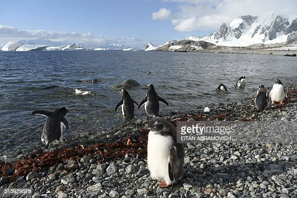 View of Gentoo penguins in Cuverville Island in the western Antarctic peninsula on March 04 2016 Waddling over the rocks legions of penguins hurl...