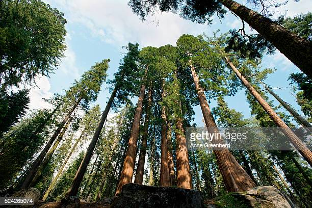 View of giant sequoias in Sequoia National Park