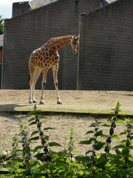 View Of Giraffe Drinking From Plant In Zoo