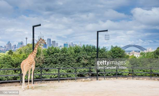 view of giraffe in taronga zoo - taronga zoo stock pictures, royalty-free photos & images