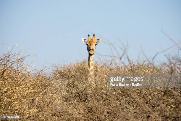 51 Top Hidden Giraffe Pictures Photos And Images Getty Images