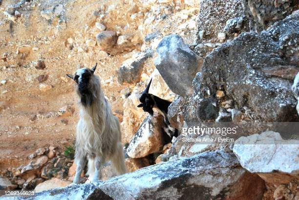 view of goats on rock formation - cala goloritze foto e immagini stock