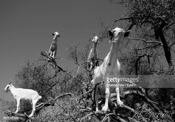 View Of Goats Perching On Tree