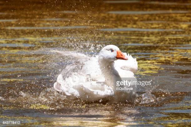 view of greylag goose (anser anser) in lake in parque rivera, montevideo, uruguay - gliedmaßen körperteile stock-fotos und bilder