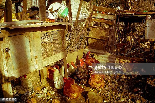 view of hens in pen - andres ruffo stock pictures, royalty-free photos & images
