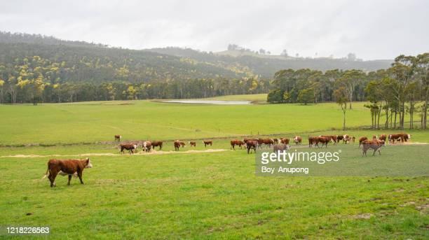 view of hereford cattle herd farming in tasmania, australia. - allevamento foto e immagini stock