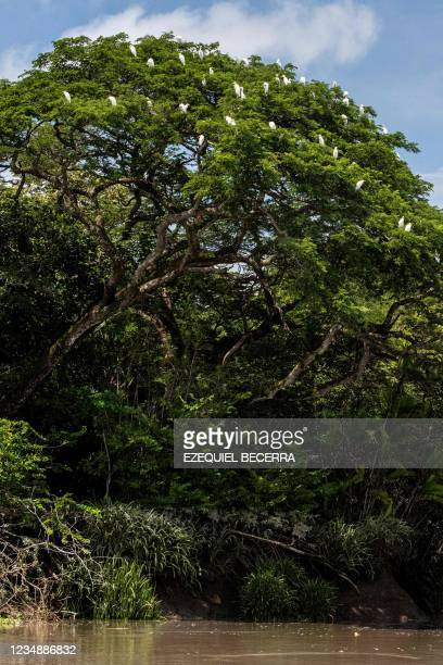 View of herons on a tree by the Tempisque River, in Guanacaste, Costa Rica, on August 26, 2021. - Costa Rica has recovered in the period from January...