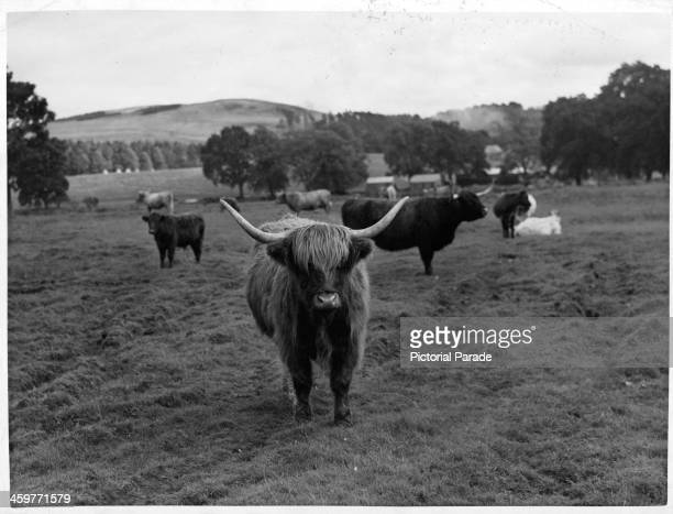 View of Highland Cattle in the fields of Perthshire, Scotland. Circa 1950.